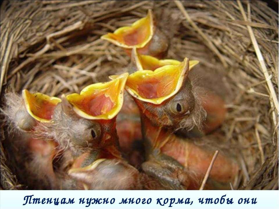 Птенцам нужно много корма, чтобы они быстро росли.