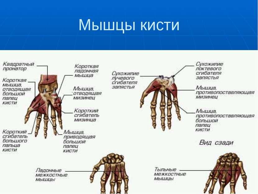 Мышцы кисти