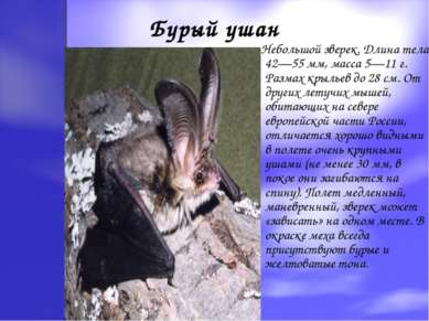 Бурый ушан Небольшой зверек. Длина тела 42—55 мм, масса 5—11 г. Размах крылье...