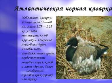Атлантическая черная казарка Небольшая казарка. Длина тела 55—60 см, масса 1,...