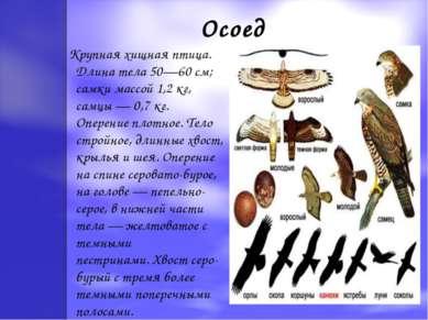 Осоед Крупная хищная птица. Длина тела 50—60 см; самки массой 1,2 кг, самцы —...