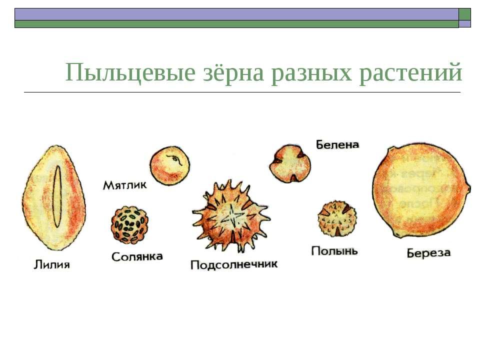 Пыльцевые зерна
