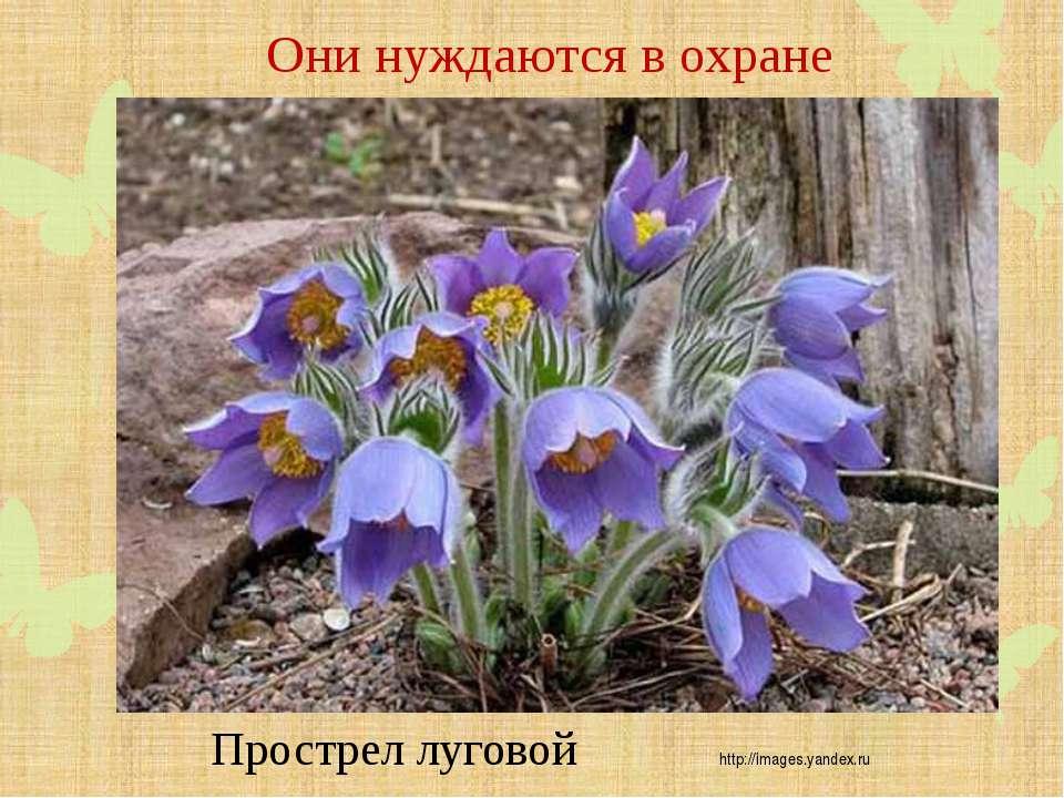 Они нуждаются в охране Прострел луговой http://images.yandex.ru