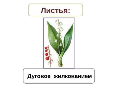 Дуговое жилкованием Листья: