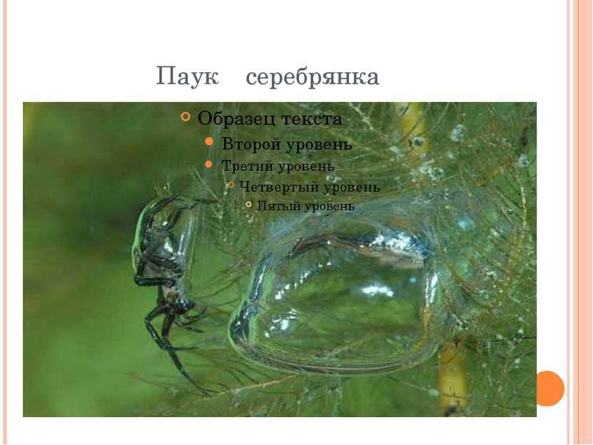Паук серебрянка