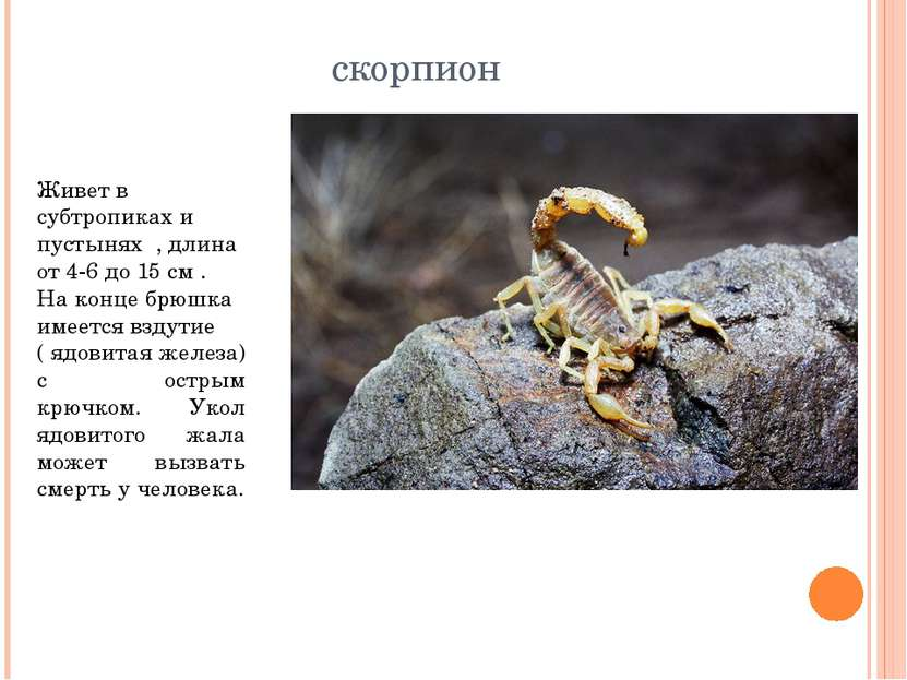 скорпион Живет в субтропиках и пустынях , длина от 4-6 до 15 см . На конце бр...
