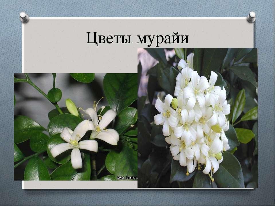 Цветы мурайи
