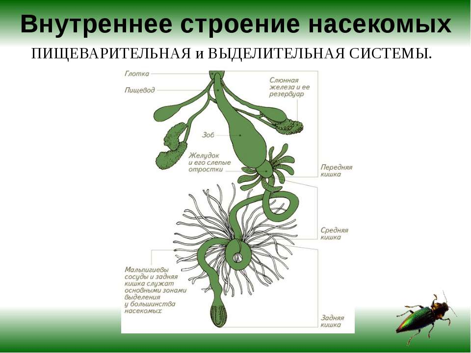 Кислород и углекислый газ переносятся через систему трахей. У большинства на...