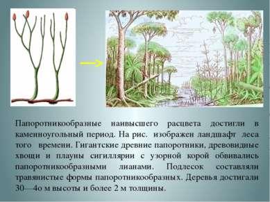Папоротникообразные наивысшего расцвета достигли в каменноугольный период. На...