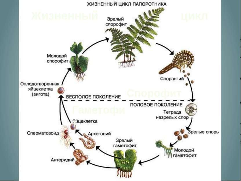 Жизненный цикл Спорофит Гаметофит