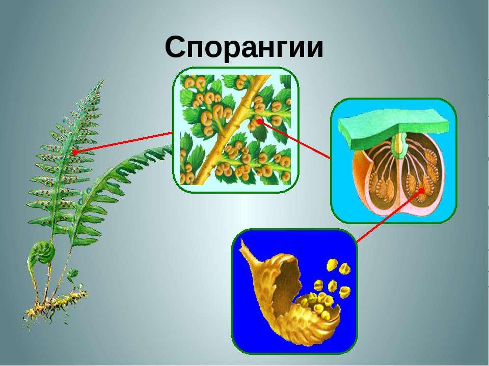 Спорангии На нижней стороне листе папоротника развиваются сорусы. Сорусы выгл...