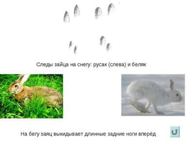 Следы зайца на снегу: русак (слева) и беляк На бегу заяц выкидывает длинные з...