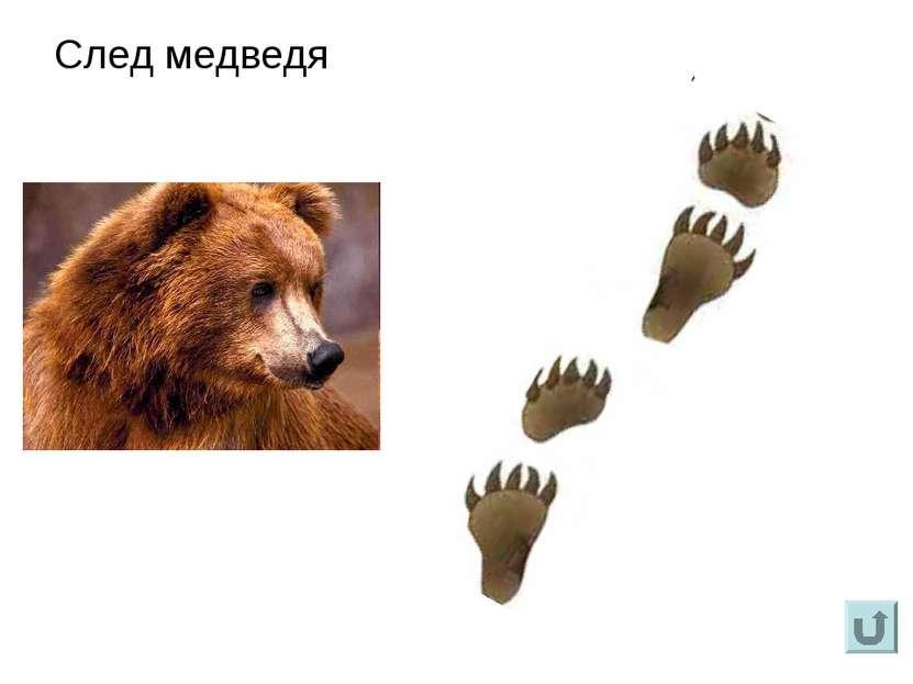 След медведя