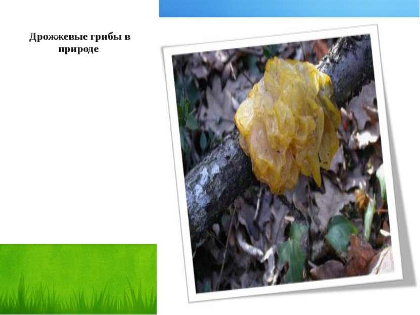 Дрожжевые грибы в природе
