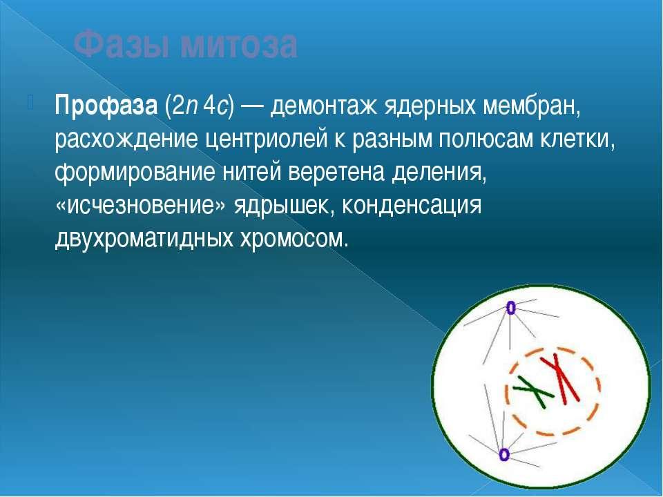 Фазы митоза Профаза (2n 4c) — демонтаж ядерных мембран, расхождение центриоле...