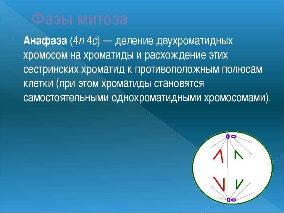 Фазы митоза Анафаза (4n 4c) — деление двухроматидных хромосом на хроматиды и ...