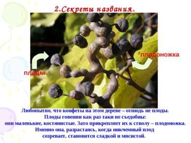 Любопытно, что конфеты на этом дереве – отнюдь не плоды. Плоды говении как ра...