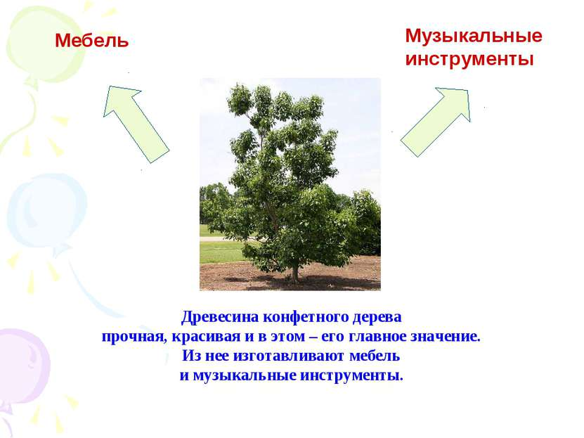 Древесина конфетного дерева прочная, красивая и в этом – его главное значение...