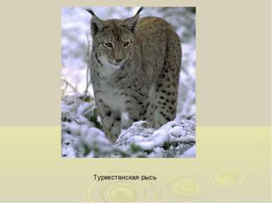 Туркестанская рысь