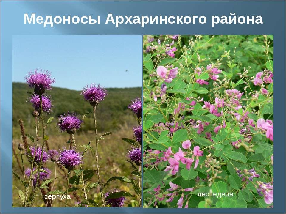 Медоносы Архаринского района серпуха леспедеца