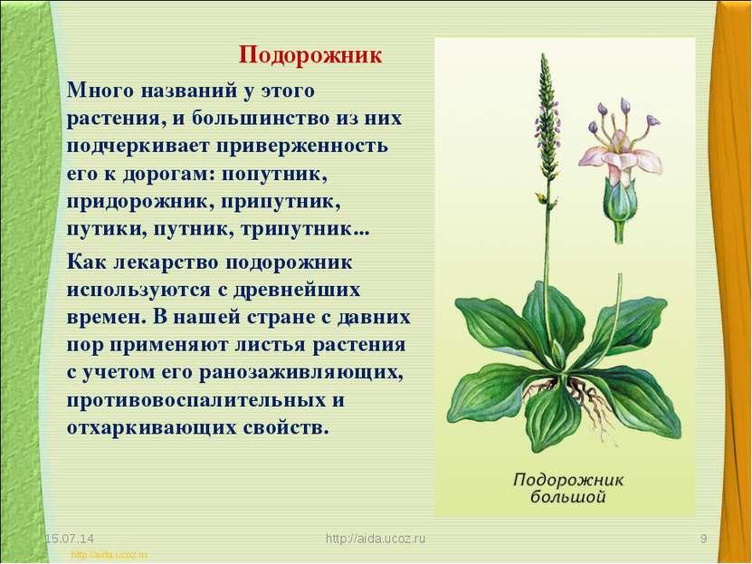Подорожник Много названий у этого растения, и большинство из них подчеркивает...