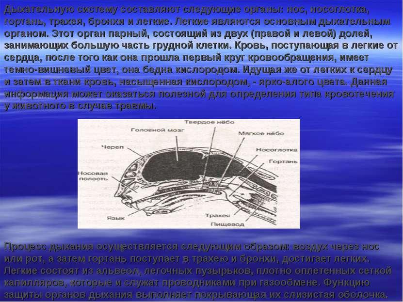 Дыхательную систему составляют следующие органы: нос, носоглотка, гортань, тр...