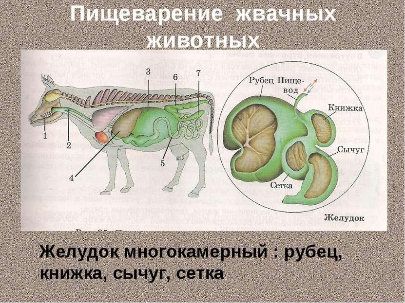 Пищеварение жвачных животных Желудок многокамерный : рубец, книжка, сычуг, сетка