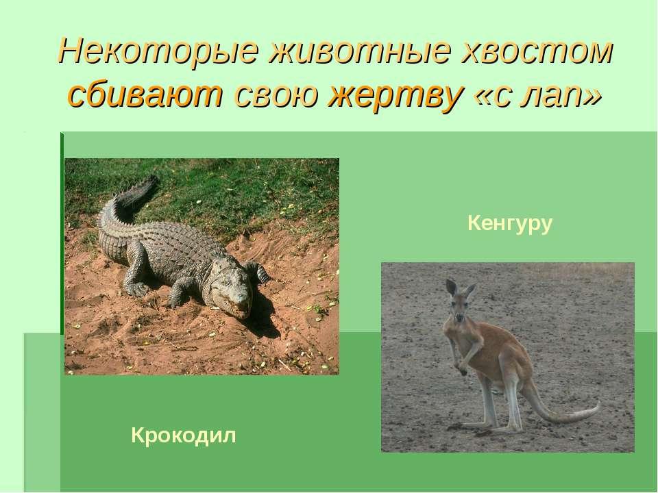 Некоторые животные хвостом сбивают свою жертву «с лап» Крокодил Кенгуру