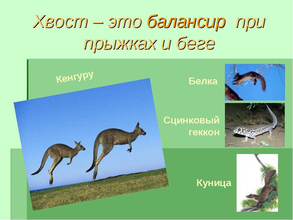 Хвост – это балансир при прыжках и беге Белка Сцинковый геккон Куница Кенгуру
