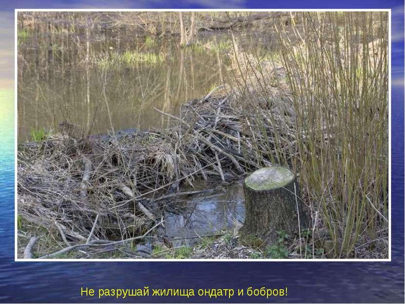 Не разрушай жилища ондатр и бобров! Не разрушай жилища ондатр и бобров!