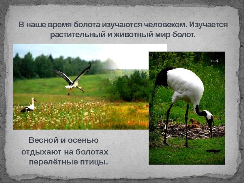 Весной и осенью отдыхают на болотах перелётные птицы. В наше время болота изу...
