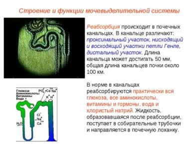 Реабсорбция происходит в почечных канальцах. В канальце различают: проксималь...