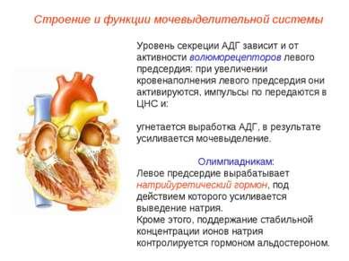 Строение и функции мочевыделительной системы Уровень секреции АДГ зависит и о...
