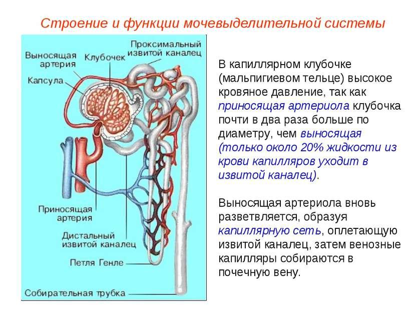 В капиллярном клубочке (мальпигиевом тельце) высокое кровяное давление, так к...