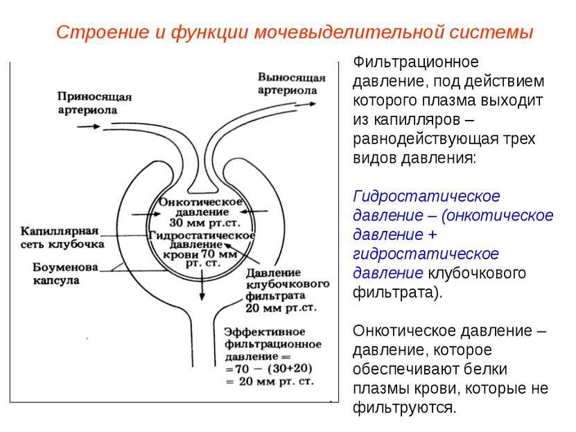 Фильтрационное давление, под действием которого плазма выходит из капилляров ...