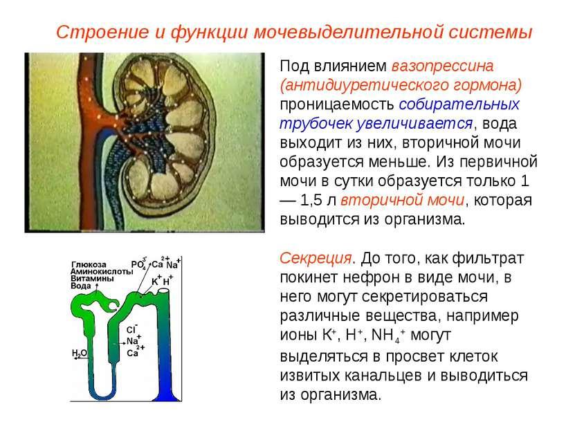Под влиянием вазопрессина (антидиуретического гормона) проницаемость собирате...