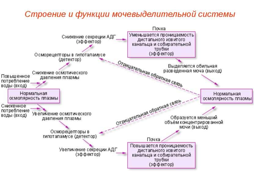 Строение и функции мочевыделительной системы