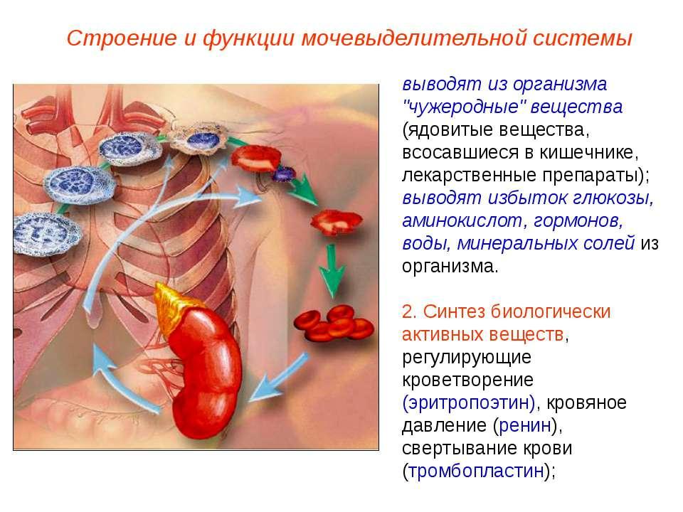 """Строение и функции мочевыделительной системы выводят из организма """"чужеродные..."""