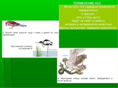 ПРИМЕНЕНИЕ НОГ Из-за того, что передние конечности превратились в крылья, ног...