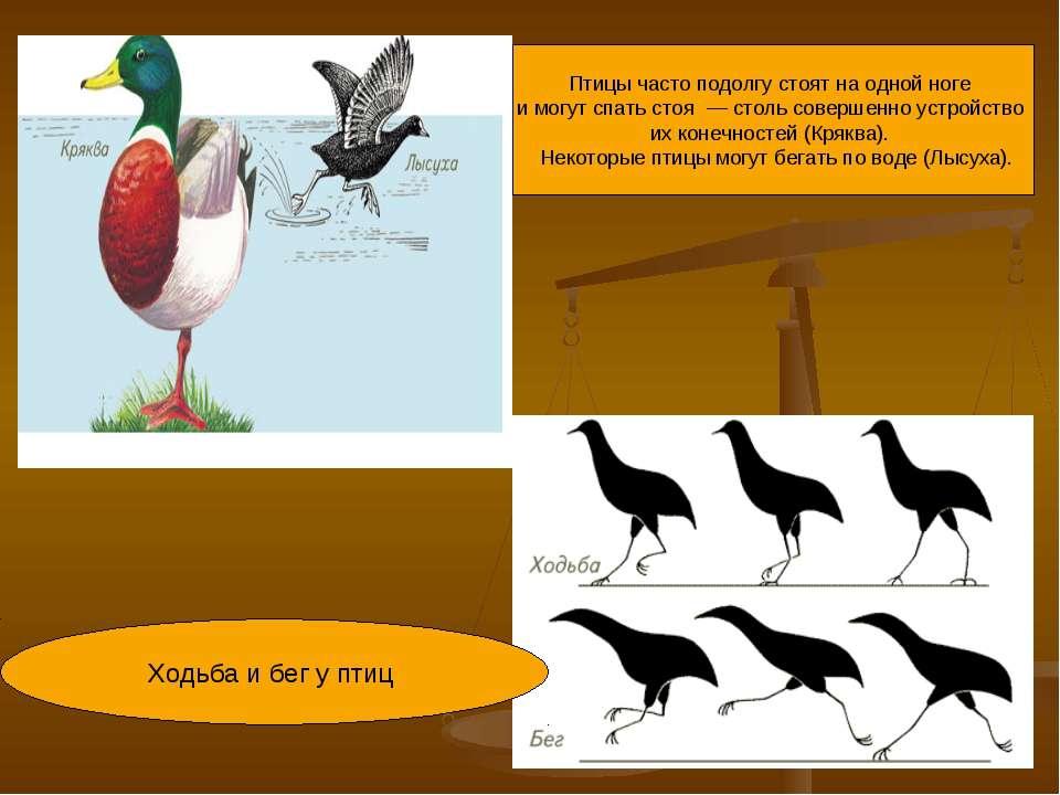 Птицы часто подолгу стоят на одной ноге имогут спать стоя — столь совершенн...