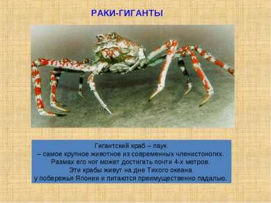 Гигантский краб – паук – самое крупное животное из современных членистоногих....