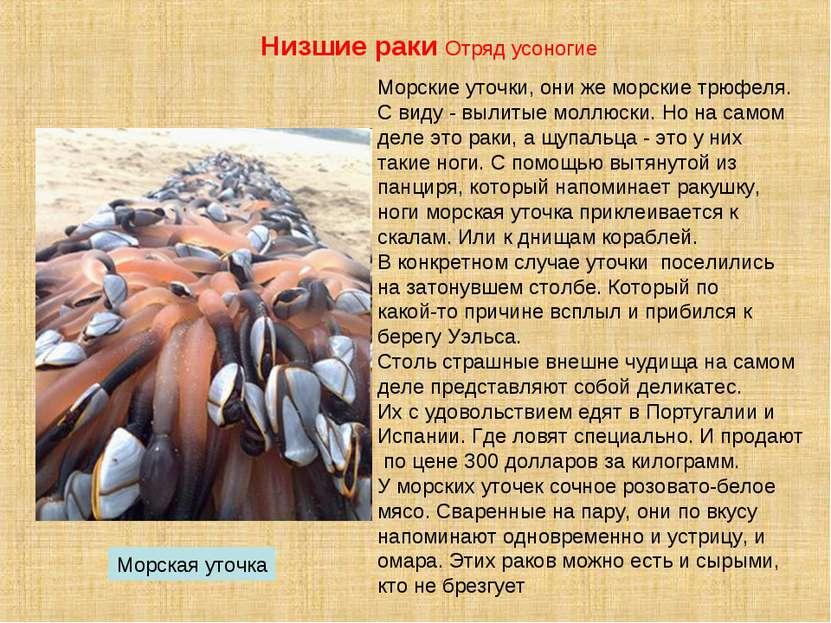 Морские уточки, они же морские трюфеля. С виду - вылитые моллюски. Но на само...