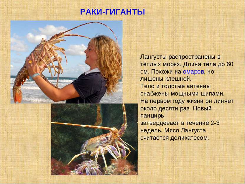 РАКИ-ГИГАНТЫ Лангусты распространены в тёплых морях. Длина тела до 60 см. Пох...
