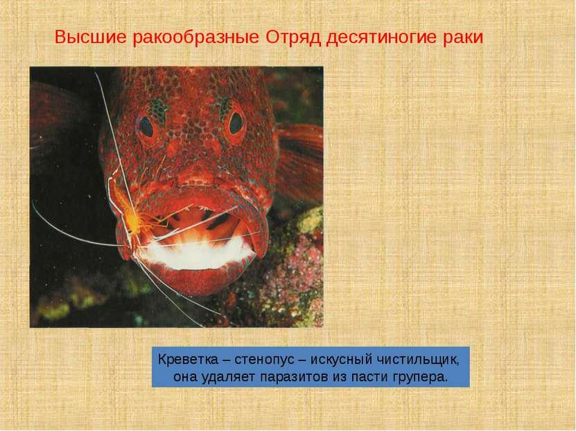 Креветка – стенопус – искусный чистильщик, она удаляет паразитов из пасти гру...