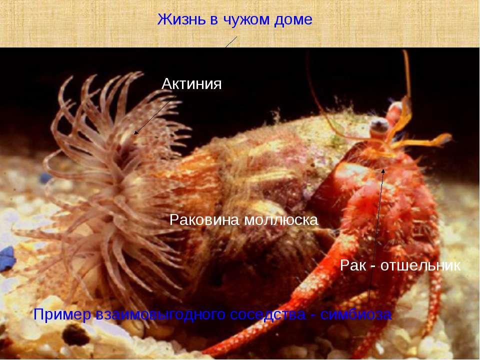 Актиния Рак - отшельник Раковина моллюска Жизнь в чужом доме Пример взаимовыг...