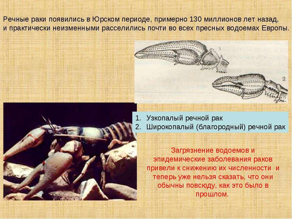 Речные раки появились вЮрском периоде, примерно 130миллионов лет назад, ип...