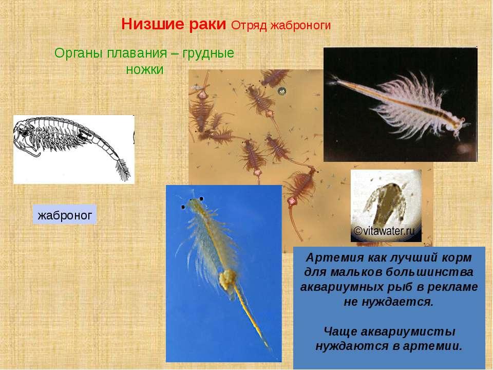 Артемия как лучший корм для мальков большинства аквариумных рыб в рекламе не ...