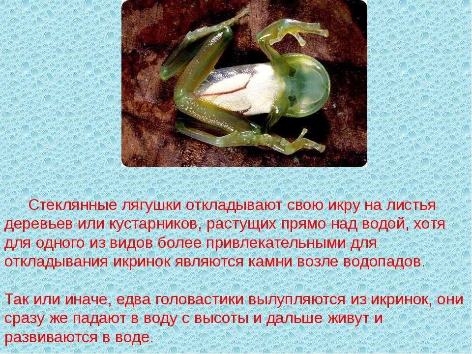 Стеклянные лягушки откладывают свою икру на листья деревьев или кустарников, ...