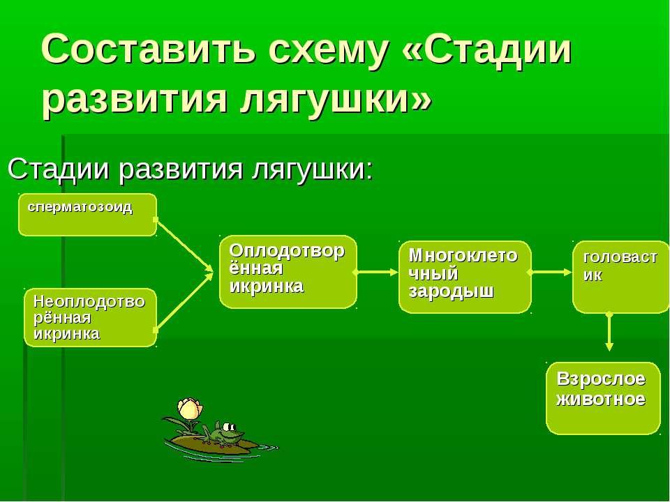 Составить схему «Стадии развития лягушки» Стадии развития лягушки: сперматозо...