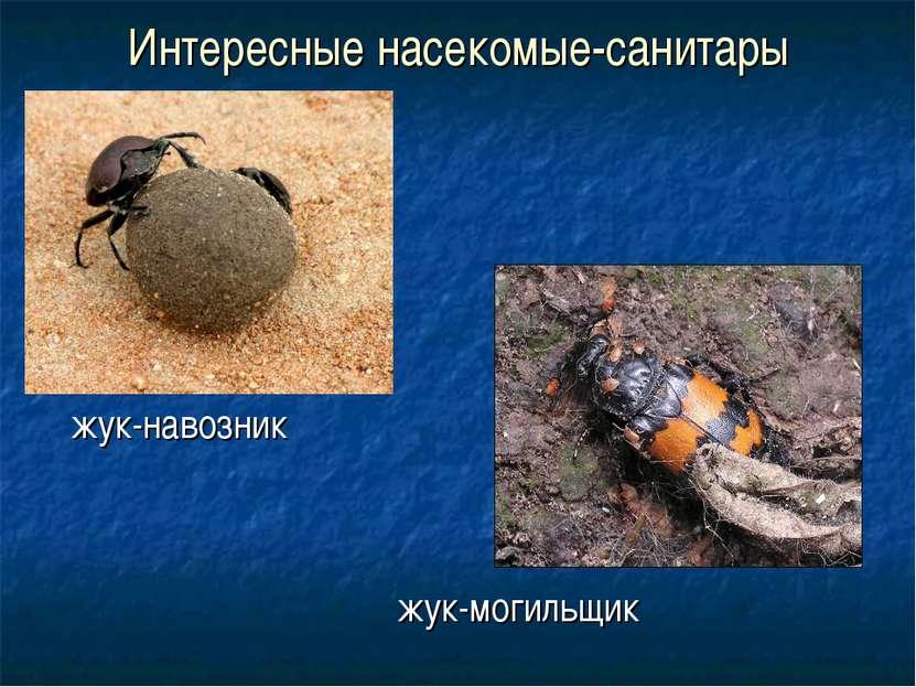 Интересные насекомые-санитары жук-навозник жук-могильщик